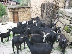 Baikun Village goats